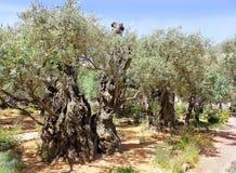 老橄榄树在Gethsemane,耶路撒冷庭院里  免版税库存照片