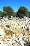 老橄榄树庭院在Lun 库存照片