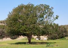 老橄榄树掩藏了在三只山羊附近 库存照片