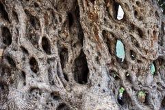 老橄榄树树干  免版税库存图片