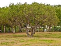 老橄榄树 免版税库存图片