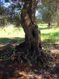 老橄榄树 免版税库存照片
