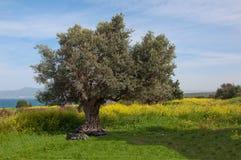 老橄榄树nafone黄色调遣蓝天 库存照片