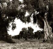老橄榄色的庭院前景的和透视的 图库摄影
