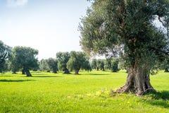 老橄榄色的果树园,奥斯图尼 免版税图库摄影