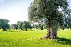 老橄榄色的果树园,奥斯图尼 免版税库存照片