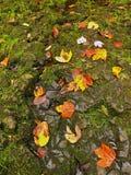 老橙色山毛榉、槭树和野黑樱桃在湿生苔地面离开。   图库摄影