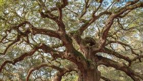 老橡木扭转的树枝 库存照片
