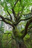 老橡木蜷缩了与绿色青苔 免版税库存照片