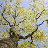 老橡树和蓝天新鲜的叶子  免版税库存图片