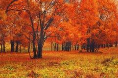 老橡树秋天风景视图与明亮的红色叶子的 库存图片