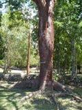 老橡胶树 免版税库存图片