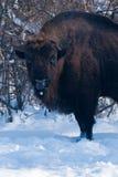 老欧洲北美野牛(北美野牛bonasus)纵向 免版税库存图片
