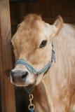 老母牛 免版税图库摄影