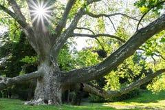 老法国梧桐树在夏天 库存图片