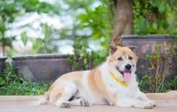 老泰国狗 库存图片