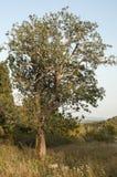 老洋梨树 图库摄影