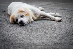 老流浪狗睡着在地板上 库存图片