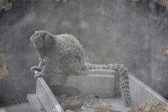 老照片侏儒狨,最小的猴子在世界上 免版税库存图片