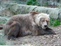 老熊北美灰熊 库存照片