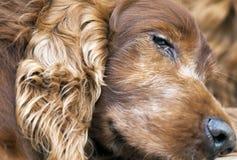 老爱尔兰人的特定装置狗特写镜头 免版税库存照片