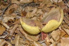 老牛肝菌蕈类蘑菇 免版税库存图片