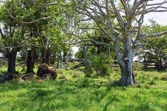 老牲畜饲养场在遮荫树下 免版税库存图片