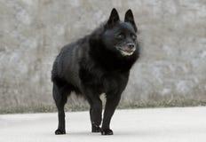 老狐头竖耳无尾短毛小黑犬狗 免版税图库摄影