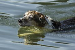 老狗在湖水中游泳 免版税库存照片