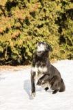 老狗室外在雪 库存图片