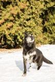 老狗室外在雪 免版税库存图片