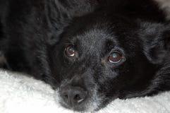 老狗` s greying面孔和大瀑布在眼睛 狐头竖耳无尾短毛小黑犬 免版税库存照片