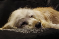 老猎犬 免版税库存图片