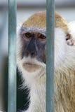 老猴子 图库摄影