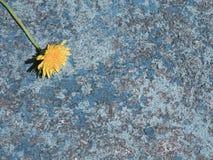 老生锈的与黄色蒲公英关闭的金属蓝色纹理 库存照片