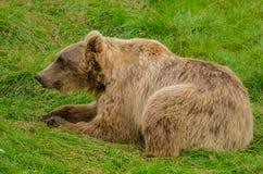 老男性熊 免版税库存图片