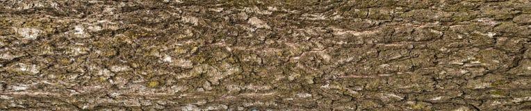 老白桦树皮纹理全景照片  破裂的粗砺的树皮的纹理图形设计的 免版税图库摄影
