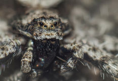 老看的蜘蛛特写镜头  免版税图库摄影