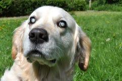 老瞎的拉布拉多狗 免版税库存照片