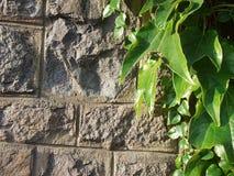 老石墙和绿色常春藤背景 免版税库存图片