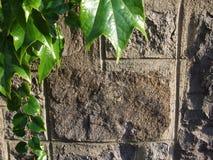 老石墙和绿色常春藤背景 免版税库存照片