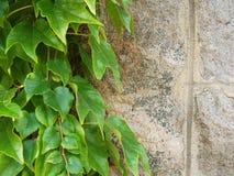 老石墙和绿色常春藤背景 库存照片