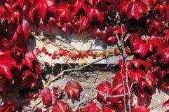 老石墙增长与弗吉尼亚爬行物离开 免版税图库摄影