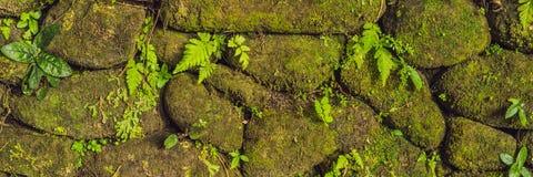 老石墙纹理包括在堡垒鹿特丹,望加锡-印度尼西亚的绿色青苔横幅,长的格式 免版税图库摄影