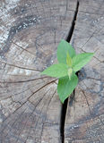 老砍的树和一强幼木生长 免版税库存图片