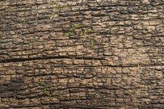 老破裂的树 库存图片