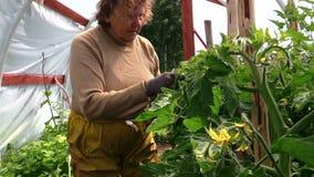 老祖母资深妇女关心西红柿在温室里 股票视频
