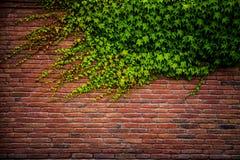 老红砖墙壁纹理和绿色叶子 库存图片