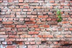 老红色风化了有发芽植被的,难看的东西背景砖墙 库存图片