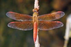 老红色蜻蜓 免版税库存照片